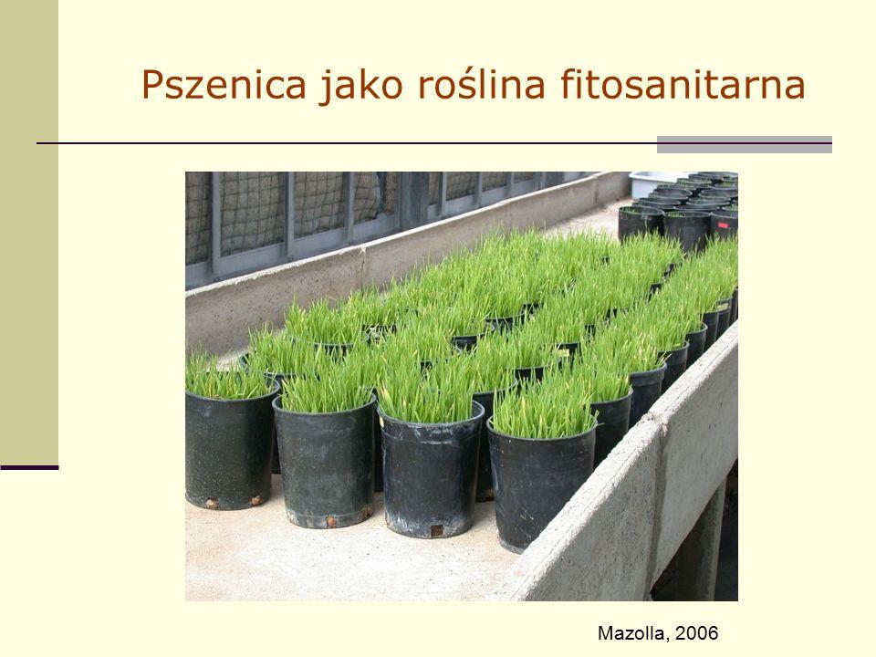 Pszenica jako roślina fitosanitarna Mazolla, 2006