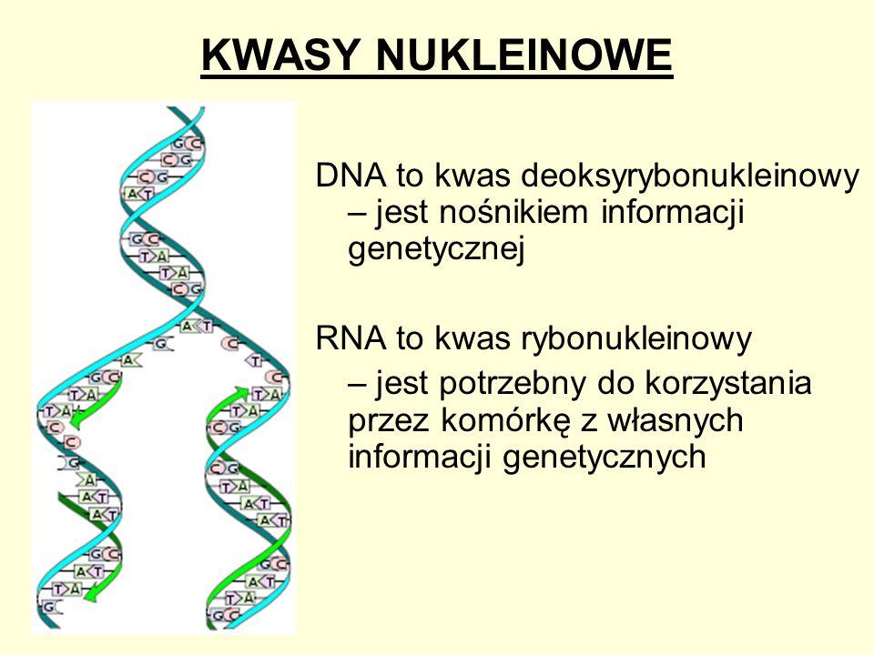 KWASY NUKLEINOWE DNA to kwas deoksyrybonukleinowy – jest nośnikiem informacji genetycznej RNA to kwas rybonukleinowy – jest potrzebny do korzystania p