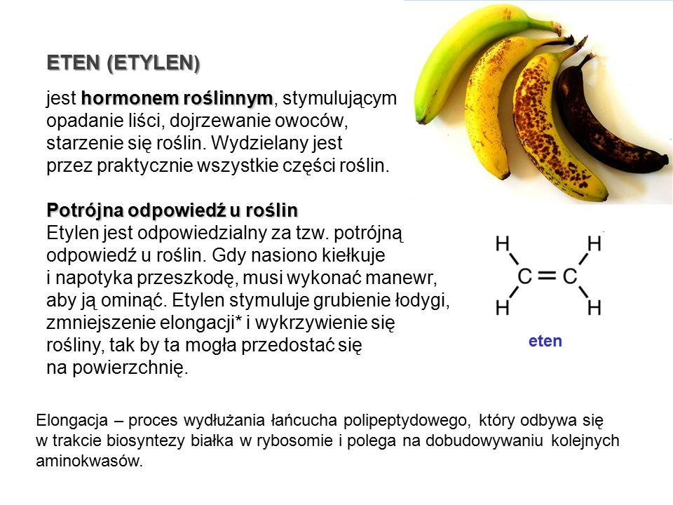 hormonem roślinnym jest hormonem roślinnym, stymulującym opadanie liści, dojrzewanie owoców, starzenie się roślin. Wydzielany jest przez praktycznie w