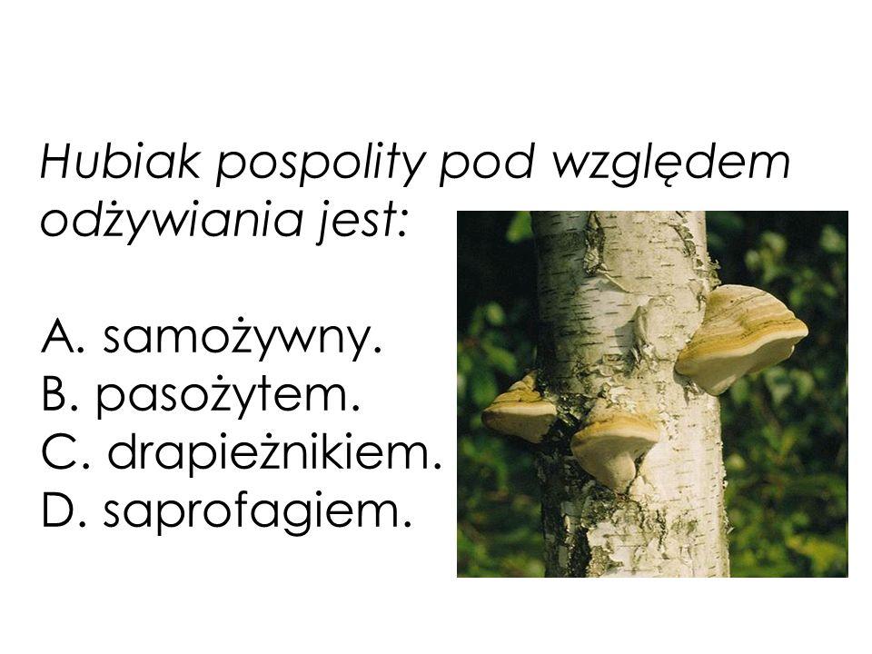 Hubiak pospolity pod względem odżywiania jest: A. samożywny. B. pasożytem. C. drapieżnikiem. D. saprofagiem.