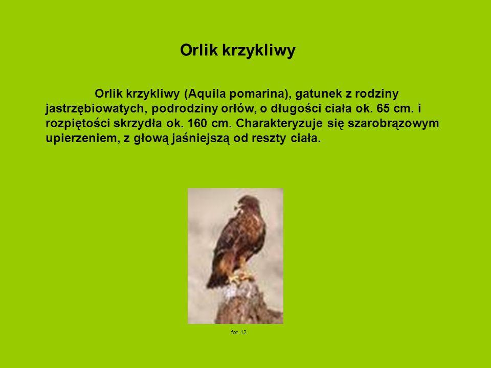 Orlik krzykliwy (Aquila pomarina), gatunek z rodziny jastrzębiowatych, podrodziny orłów, o długości ciała ok. 65 cm. i rozpiętości skrzydła ok. 160 cm