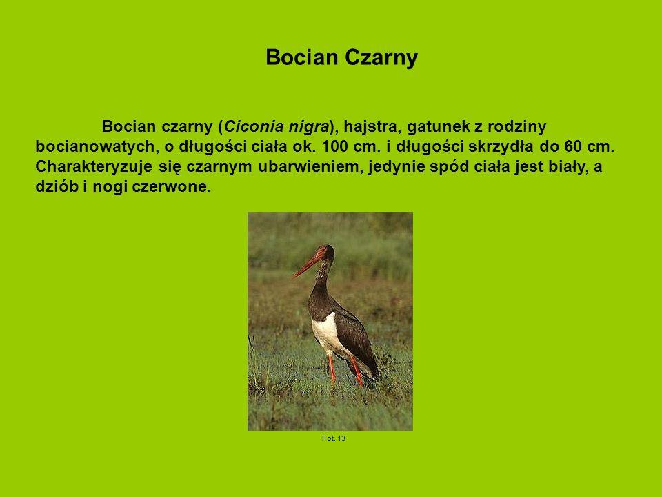 Bocian czarny (Ciconia nigra), hajstra, gatunek z rodziny bocianowatych, o długości ciała ok.