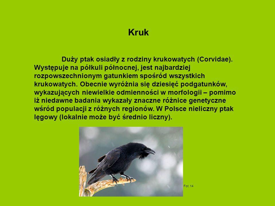Duży ptak osiadły z rodziny krukowatych (Corvidae). Występuje na półkuli północnej, jest najbardziej rozpowszechnionym gatunkiem spośród wszystkich kr