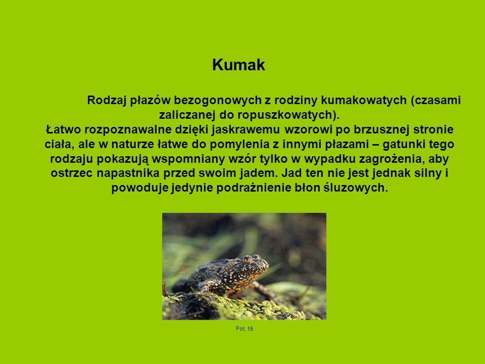 Kumak Rodzaj płazów bezogonowych z rodziny kumakowatych (czasami zaliczanej do ropuszkowatych). Łatwo rozpoznawalne dzięki jaskrawemu wzorowi po brzus