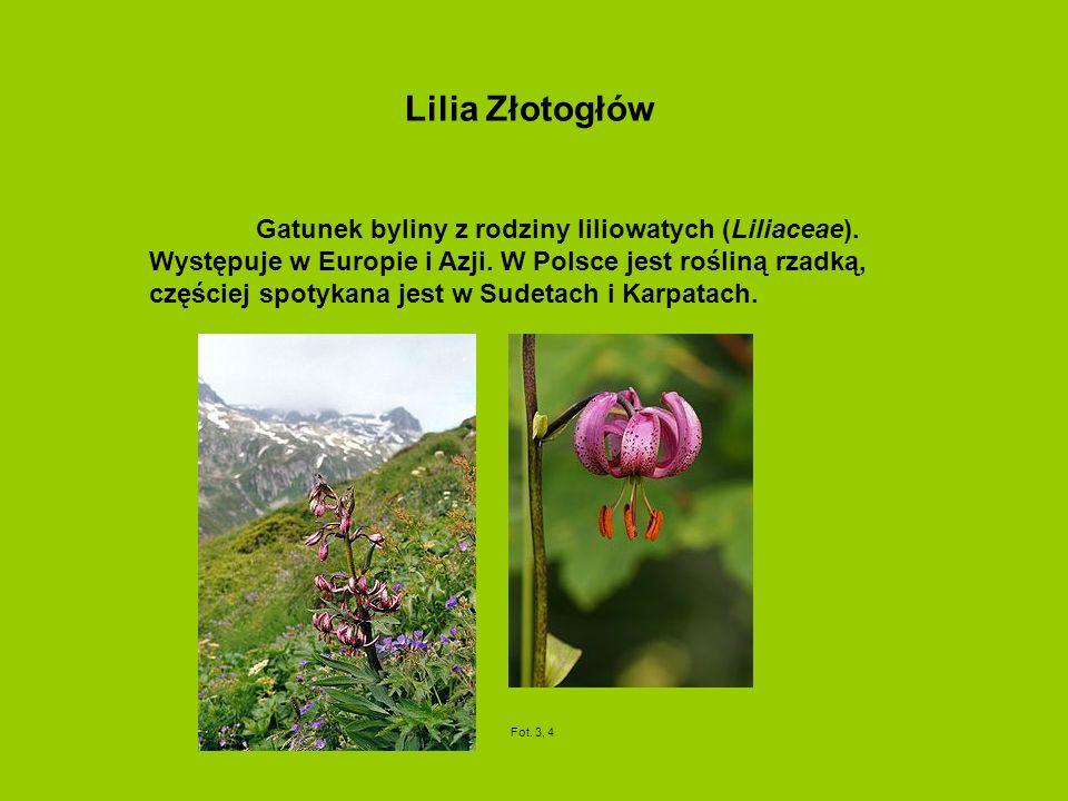 Lilia Złotogłów Gatunek byliny z rodziny liliowatych (Liliaceae). Występuje w Europie i Azji. W Polsce jest rośliną rzadką, częściej spotykana jest w