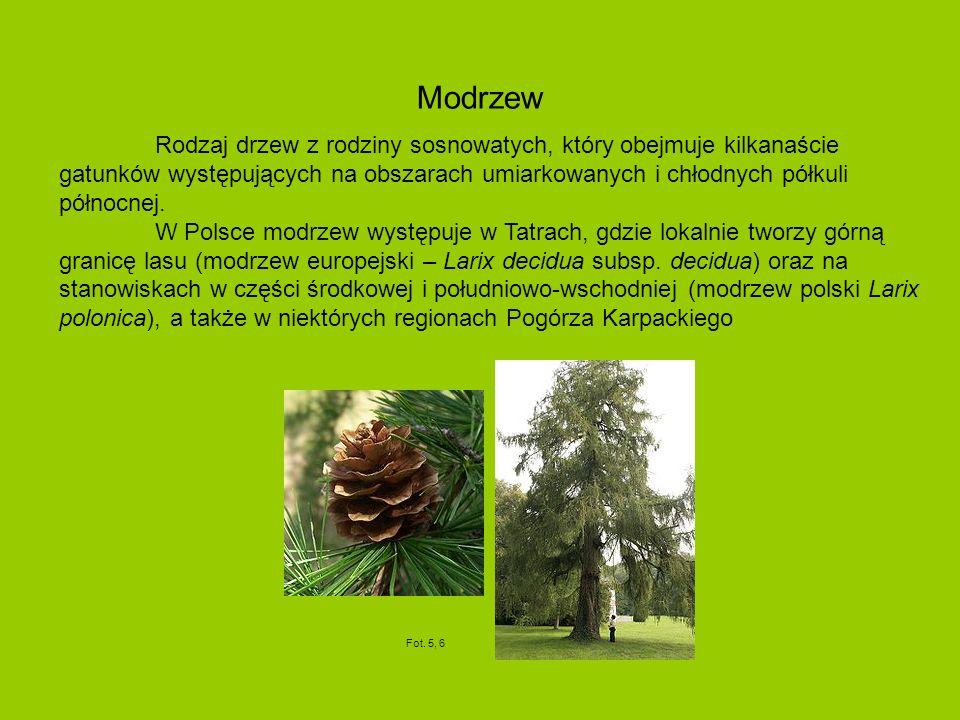 Modrzew Rodzaj drzew z rodziny sosnowatych, który obejmuje kilkanaście gatunków występujących na obszarach umiarkowanych i chłodnych półkuli północnej.