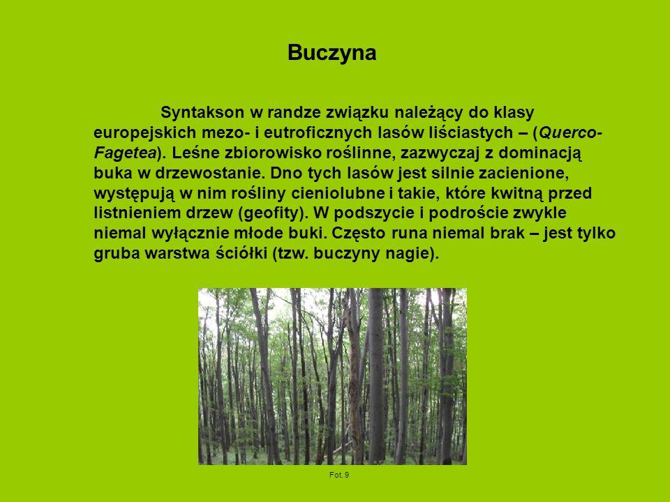 Buczyna Syntakson w randze związku należący do klasy europejskich mezo- i eutroficznych lasów liściastych – (Querco- Fagetea). Leśne zbiorowisko rośli