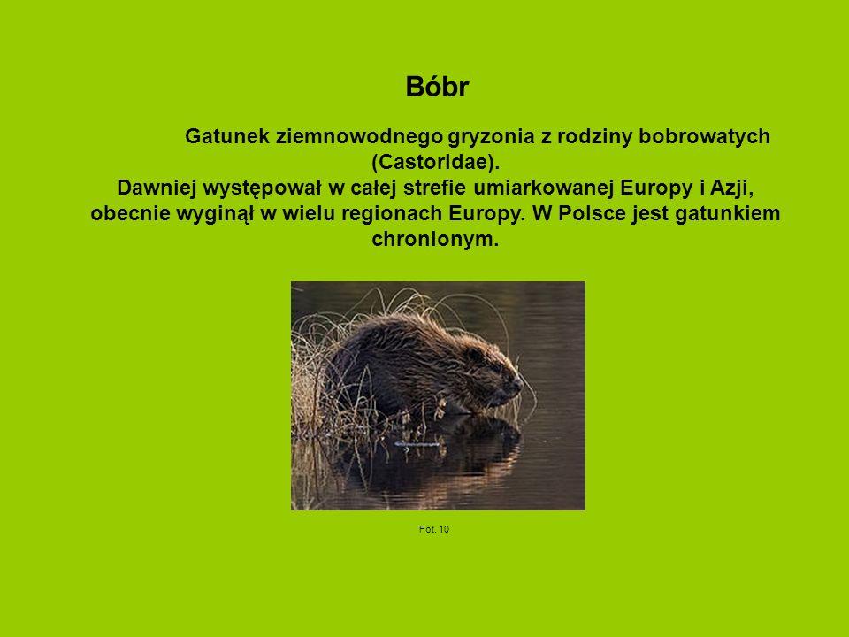 Bóbr Gatunek ziemnowodnego gryzonia z rodziny bobrowatych (Castoridae). Dawniej występował w całej strefie umiarkowanej Europy i Azji, obecnie wyginął
