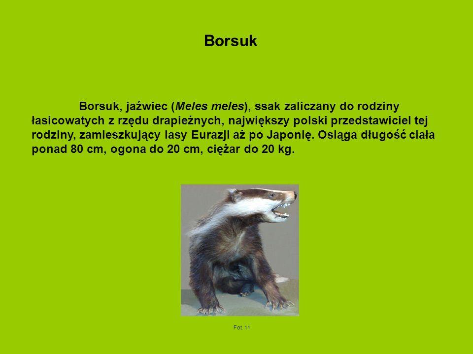 Borsuk, jaźwiec (Meles meles), ssak zaliczany do rodziny łasicowatych z rzędu drapieżnych, największy polski przedstawiciel tej rodziny, zamieszkujący