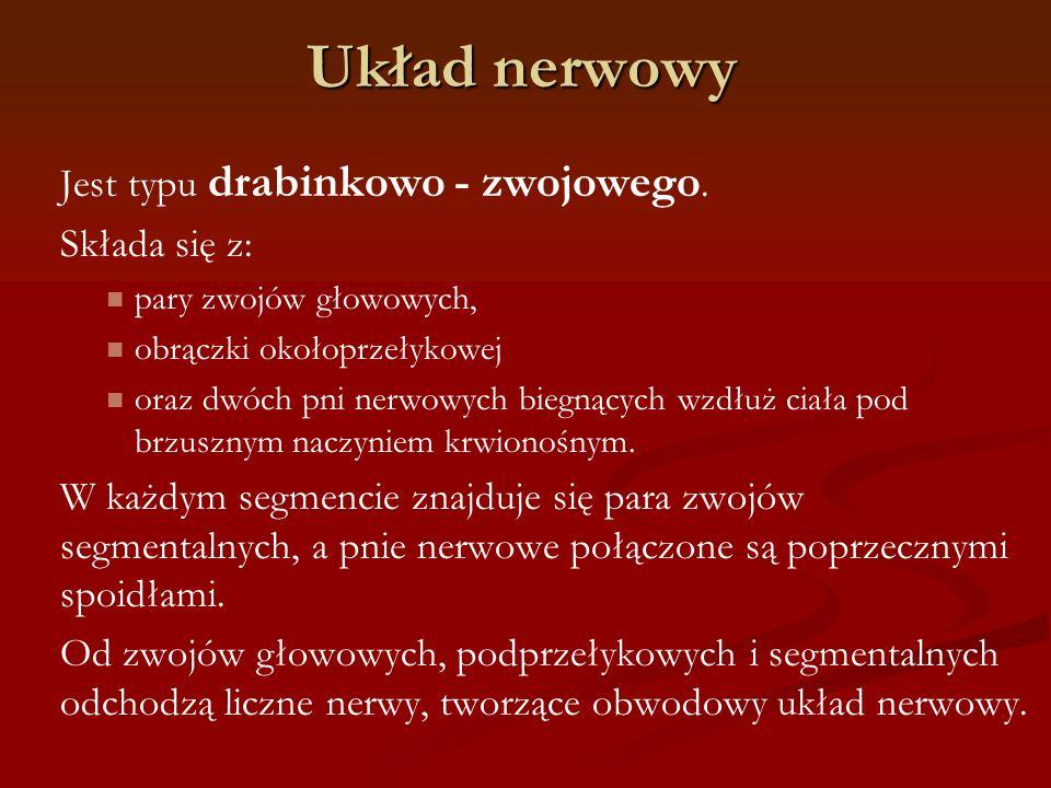 Układ nerwowy Jest typu drabinkowo - zwojowego. Składa się z: pary zwojów głowowych, obrączki okołoprzełykowej oraz dwóch pni nerwowych biegnących wzd