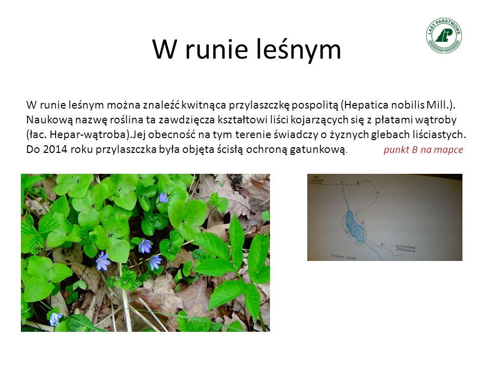 W runie leśnym W runie leśnym można znaleźć kwitnąca przylaszczkę pospolitą (Hepatica nobilis Mill.). Naukową nazwę roślina ta zawdzięcza kształtowi l