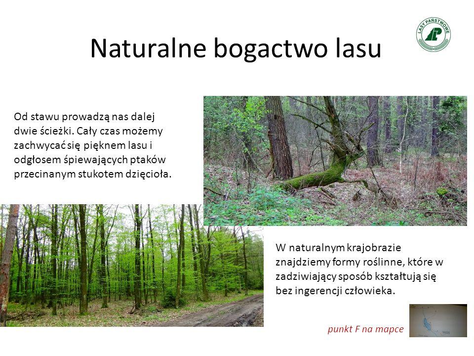 Naturalne bogactwo lasu Od stawu prowadzą nas dalej dwie ścieżki. Cały czas możemy zachwycać się pięknem lasu i odgłosem śpiewających ptaków przecinan