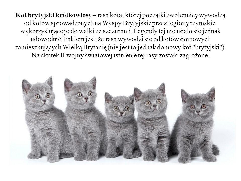 Kot brytyjski krótkowłosy – rasa kota, której początki zwolennicy wywodzą od kotów sprowadzonych na Wyspy Brytyjskie przez legiony rzymskie, wykorzyst