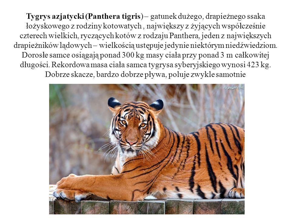 Tygrys azjatycki (Panthera tigris) – gatunek dużego, drapieżnego ssaka łożyskowego z rodziny kotowatych, największy z żyjących współcześnie czterech w