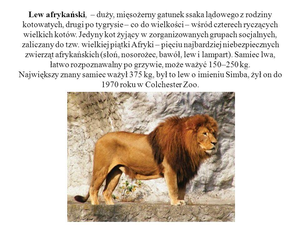 Lew afrykański, – duży, mięsożerny gatunek ssaka lądowego z rodziny kotowatych, drugi po tygrysie – co do wielkości – wśród czterech ryczących wielkic
