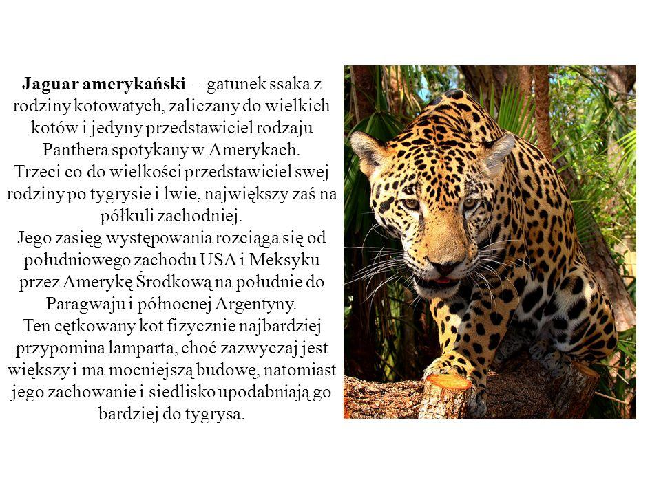 Jaguar amerykański – gatunek ssaka z rodziny kotowatych, zaliczany do wielkich kotów i jedyny przedstawiciel rodzaju Panthera spotykany w Amerykach. T