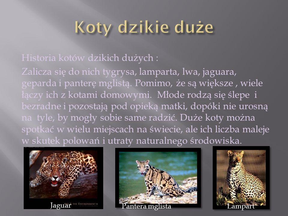 Historia kotów dzikich dużych : Zalicza się do nich tygrysa, lamparta, lwa, jaguara, geparda i panterę mglistą. Pomimo, że są większe, wiele łączy ich