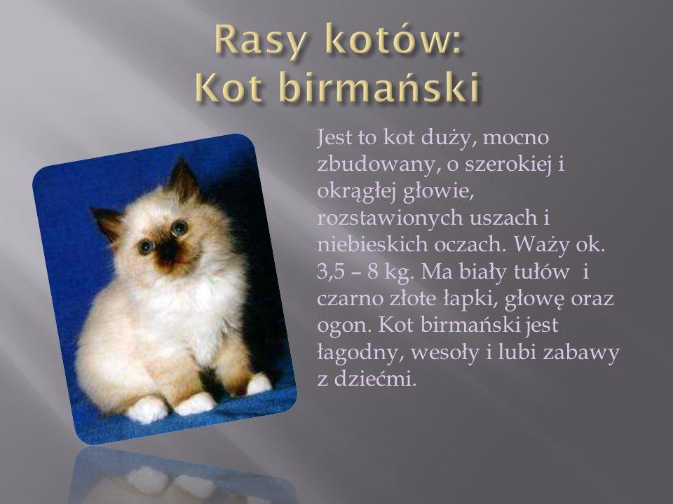 Jest to kot duży, mocno zbudowany, o szerokiej i okrągłej głowie, rozstawionych uszach i niebieskich oczach. Waży ok. 3,5 – 8 kg. Ma biały tułów i cza