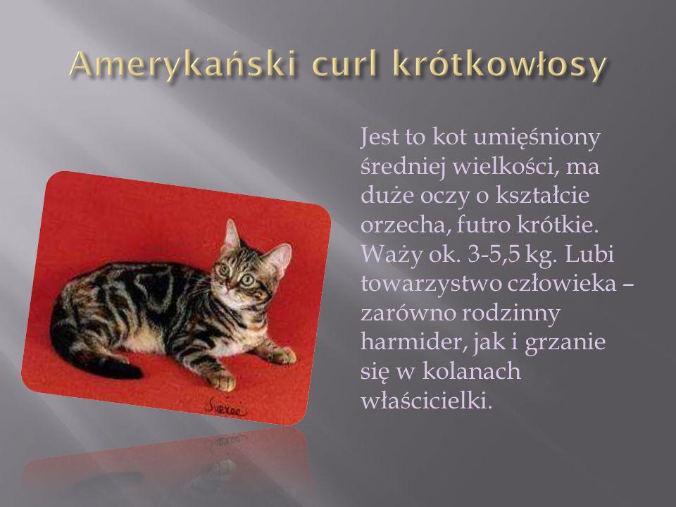 Jest to kot umięśniony średniej wielkości, ma duże oczy o kształcie orzecha, futro krótkie. Waży ok. 3-5,5 kg. Lubi towarzystwo człowieka – zarówno ro