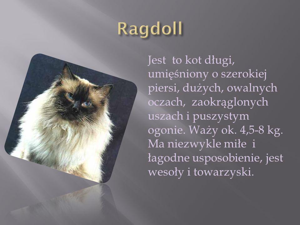 Jest to kot długi, umięśniony o szerokiej piersi, dużych, owalnych oczach, zaokrąglonych uszach i puszystym ogonie. Waży ok. 4,5-8 kg. Ma niezwykle mi