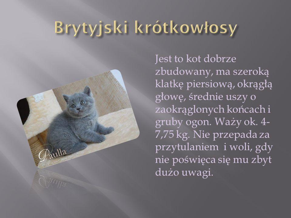 Jest to kot nieduży, smukły i pełen gracji, o długiej, kanciastej głowie, dużych, sterczących uszach i migdałowatych, niebieskich oczach.