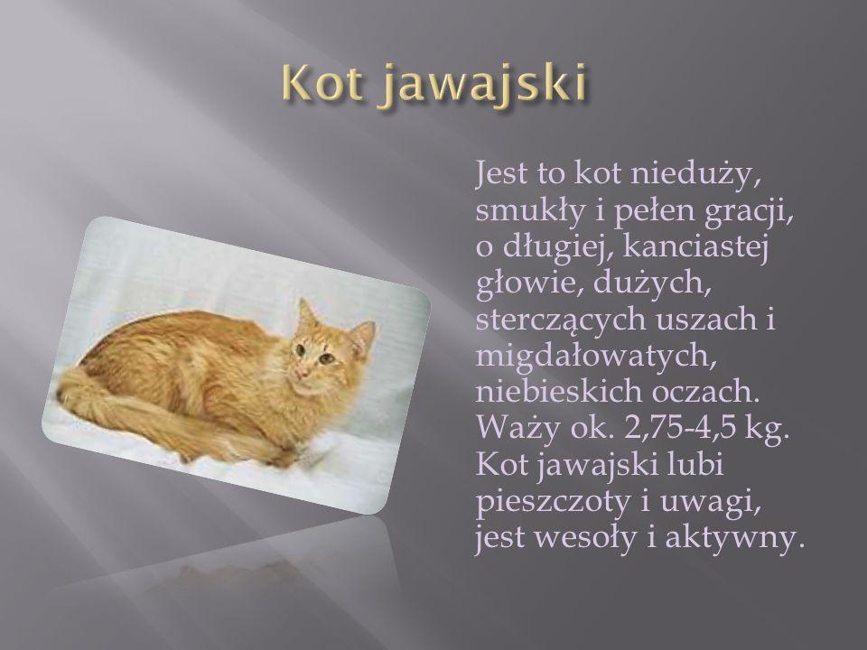Jest to kot nieduży, smukły i pełen gracji, o długiej, kanciastej głowie, dużych, sterczących uszach i migdałowatych, niebieskich oczach. Waży ok. 2,7