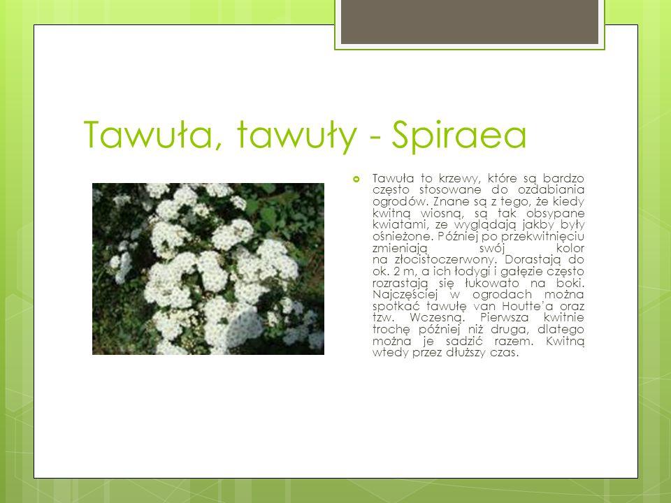 Tawuła, tawuły - Spiraea  Tawuła to krzewy, które są bardzo często stosowane do ozdabiania ogrodów. Znane są z tego, że kiedy kwitną wiosną, są tak o