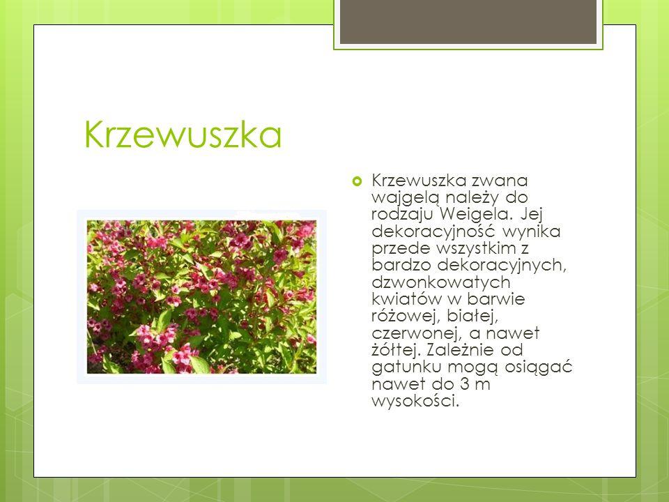 Krzewuszka  Krzewuszka zwana wajgelą należy do rodzaju Weigela. Jej dekoracyjność wynika przede wszystkim z bardzo dekoracyjnych, dzwonkowatych kwiat