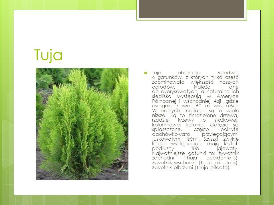 Tuja  Tuje obejmują zaledwie 6 gatunków, z których tylko część zdominowała większość naszych ogrodów.