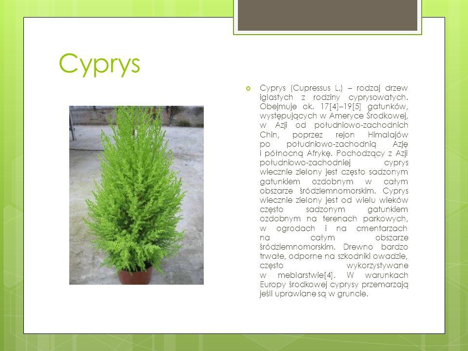 Cyprys  Cyprys (Cupressus L.) – rodzaj drzew iglastych z rodziny cyprysowatych. Obejmuje ok. 17[4]–19[5] gatunków, występujących w Ameryce Środkowej,