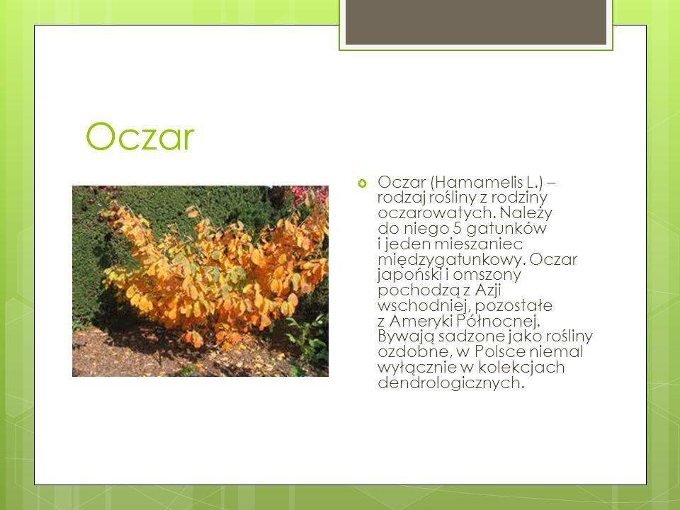Oczar  Oczar (Hamamelis L.) – rodzaj rośliny z rodziny oczarowatych. Należy do niego 5 gatunków i jeden mieszaniec międzygatunkowy. Oczar japoński i