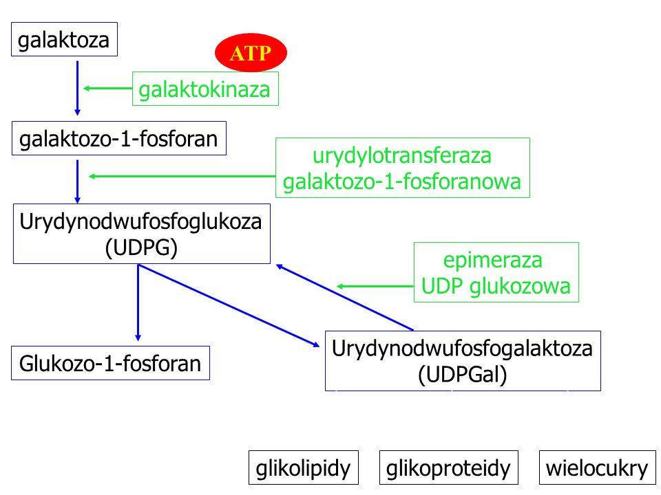 galaktoza galaktozo-1-fosforan urydylotransferaza galaktozo-1-fosforanowa Urydynodwufosfoglukoza (UDPG) Urydynodwufosfogalaktoza (UDPGal) Glukozo-1-fosforan galaktokinaza epimeraza UDP glukozowa glikolipidy ATP glikoproteidywielocukry