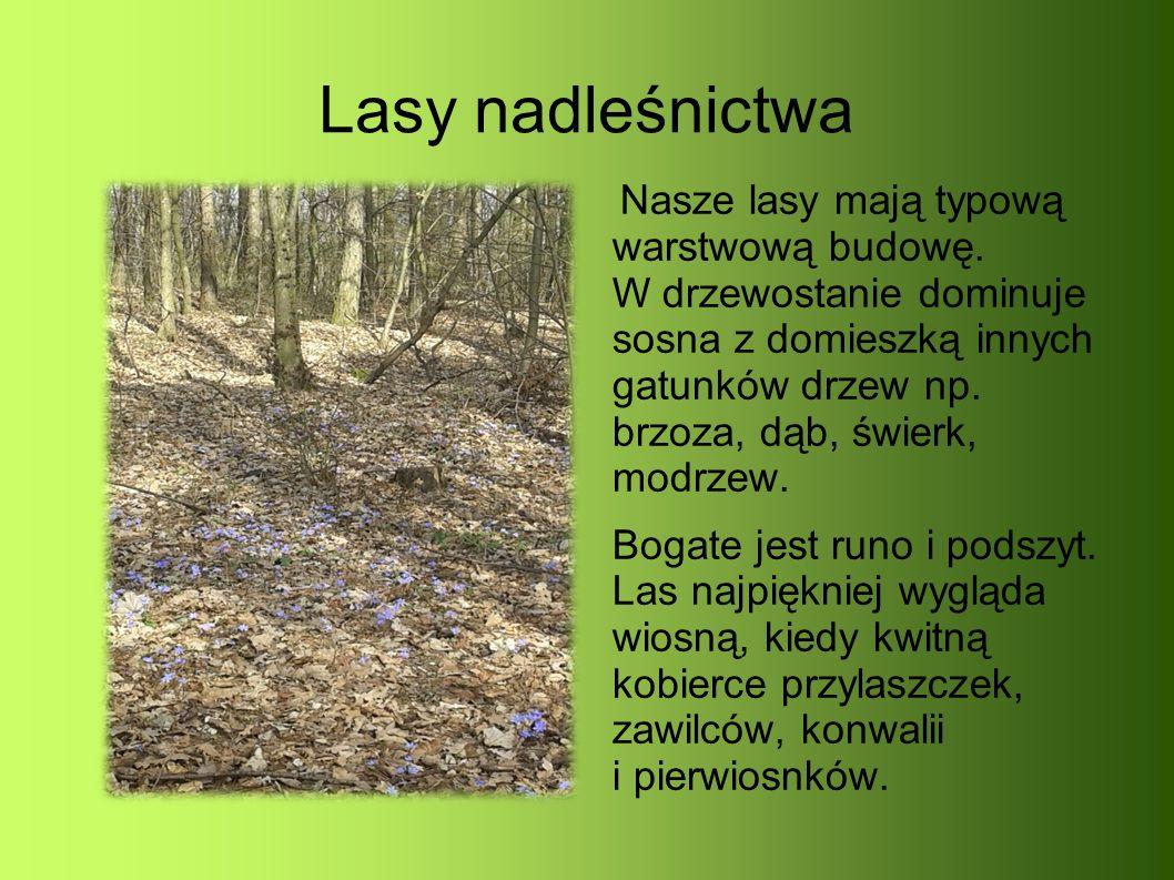 Lasy nadleśnictwa Nasze lasy mają typową warstwową budowę.