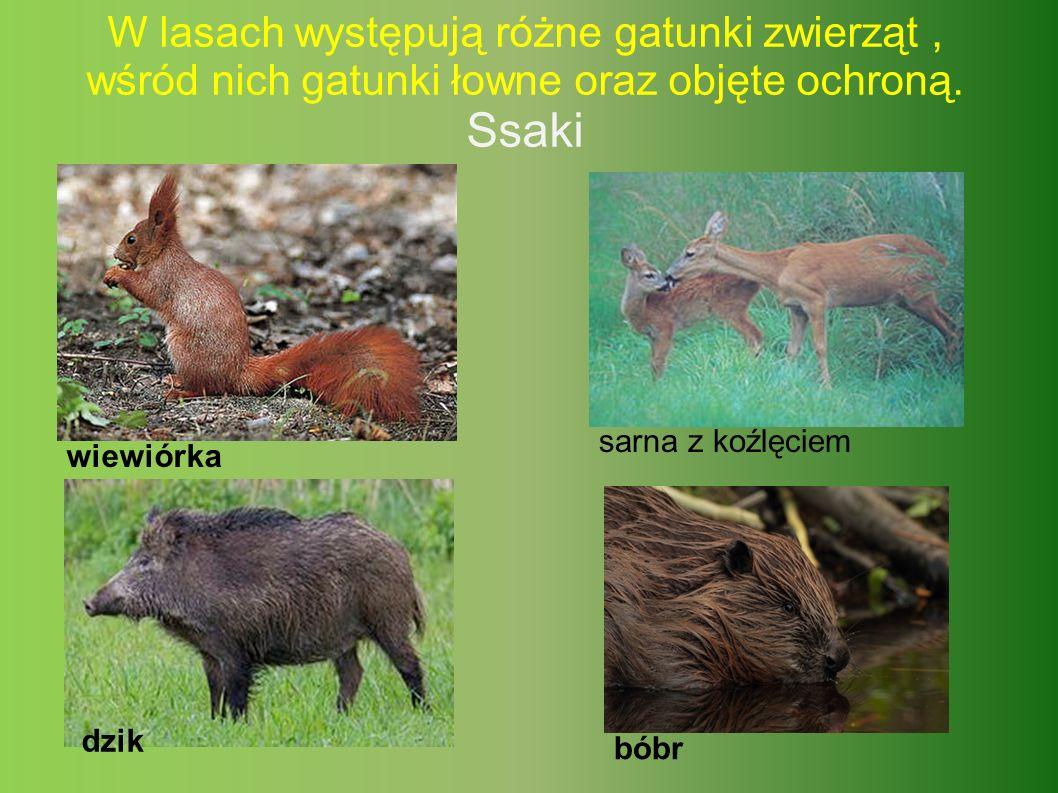 W lasach występują różne gatunki zwierząt, wśród nich gatunki łowne oraz objęte ochroną.