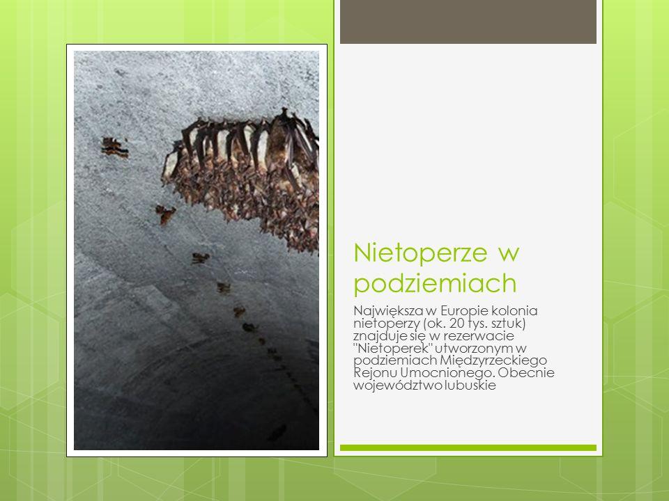 Nietoperze w podziemiach Największa w Europie kolonia nietoperzy (ok. 20 tys. sztuk) znajduje się w rezerwacie