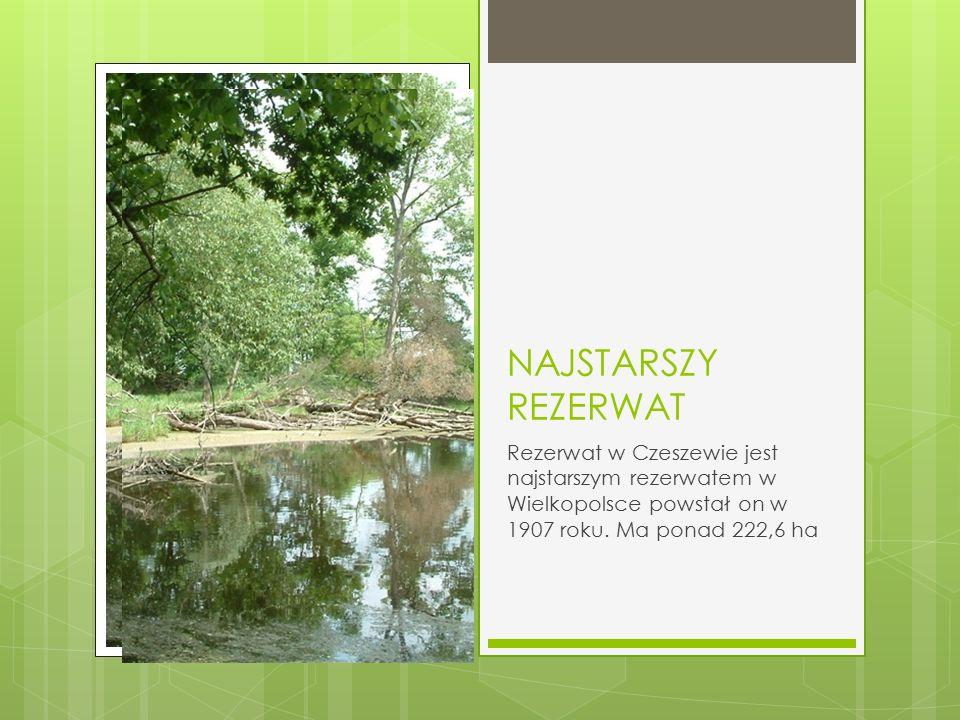 NAJSTARSZY REZERWAT Rezerwat w Czeszewie jest najstarszym rezerwatem w Wielkopolsce powstał on w 1907 roku. Ma ponad 222,6 ha