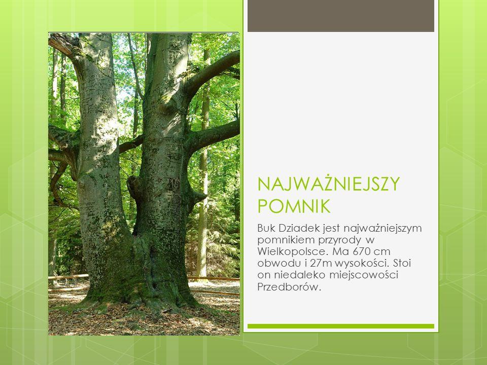 NAJWAŻNIEJSZY POMNIK Buk Dziadek jest najważniejszym pomnikiem przyrody w Wielkopolsce. Ma 670 cm obwodu i 27m wysokości. Stoi on niedaleko miejscowoś