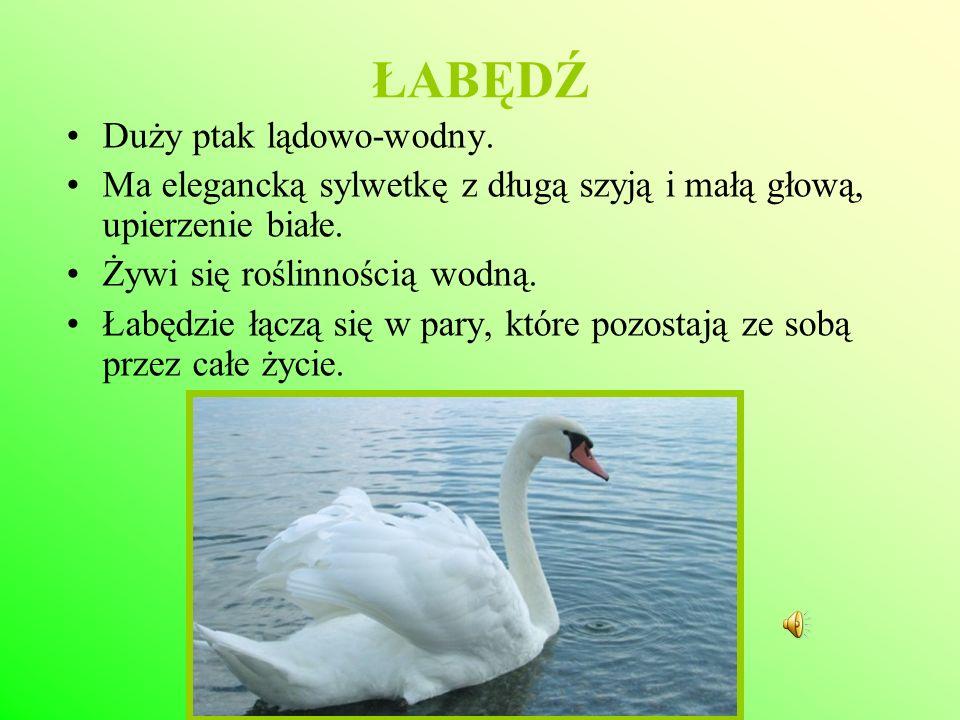 ŁABĘDŹ Duży ptak lądowo-wodny. Ma elegancką sylwetkę z długą szyją i małą głową, upierzenie białe. Żywi się roślinnością wodną. Łabędzie łączą się w p