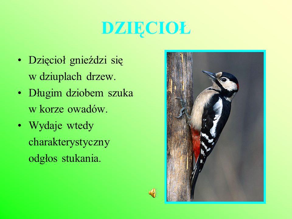 DZIĘCIOŁ Dzięcioł gnieździ się w dziuplach drzew. Długim dziobem szuka w korze owadów. Wydaje wtedy charakterystyczny odgłos stukania.