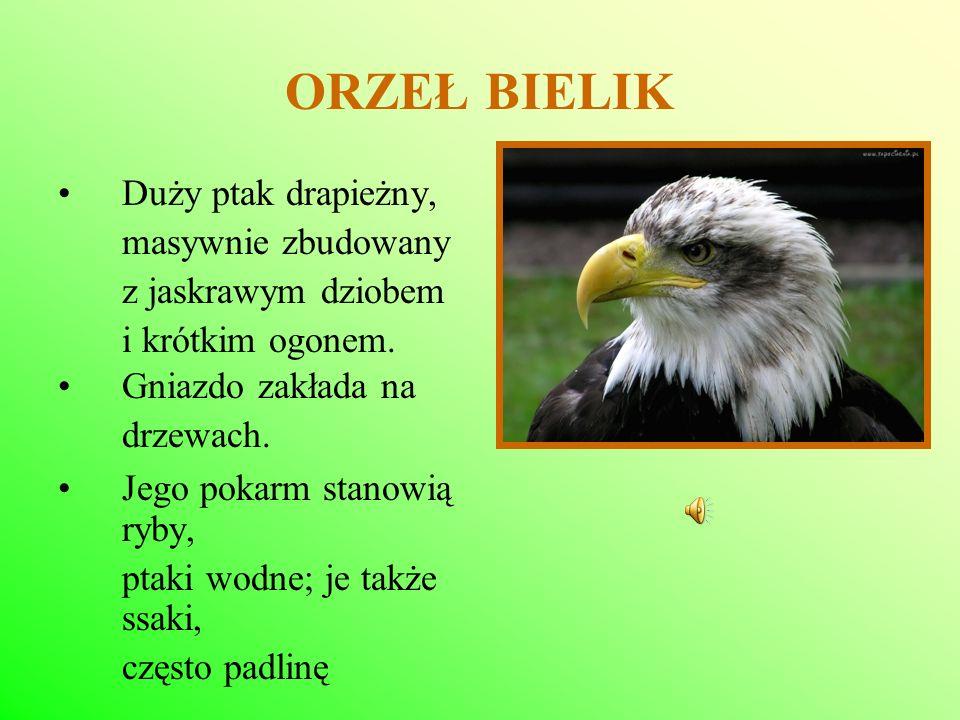 ORZEŁ BIELIK Duży ptak drapieżny, masywnie zbudowany z jaskrawym dziobem i krótkim ogonem. Gniazdo zakłada na drzewach. Jego pokarm stanowią ryby, pta