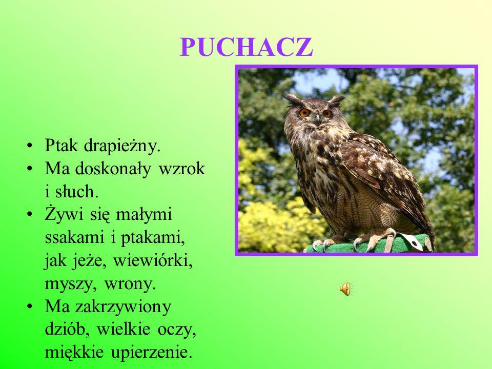 PUCHACZ Ptak drapieżny. Ma doskonały wzrok i słuch. Żywi się małymi ssakami i ptakami, jak jeże, wiewiórki, myszy, wrony. Ma zakrzywiony dziób, wielki