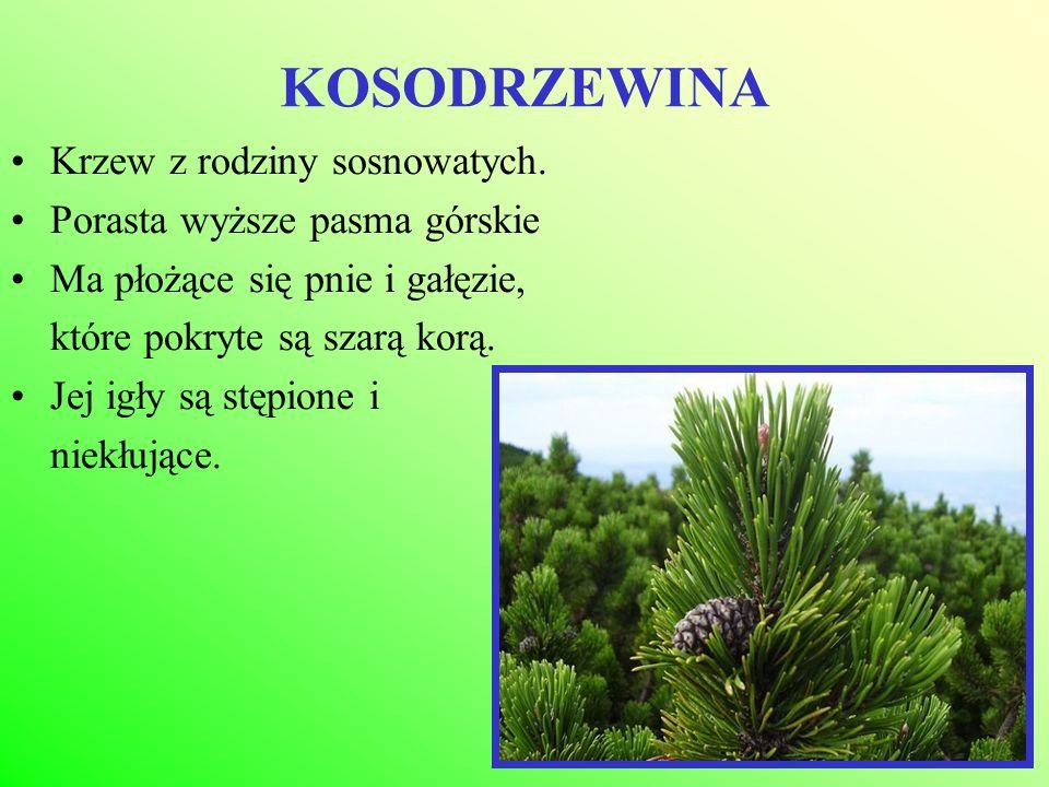 KOSODRZEWINA Krzew z rodziny sosnowatych. Porasta wyższe pasma górskie Ma płożące się pnie i gałęzie, które pokryte są szarą korą. Jej igły są stępion