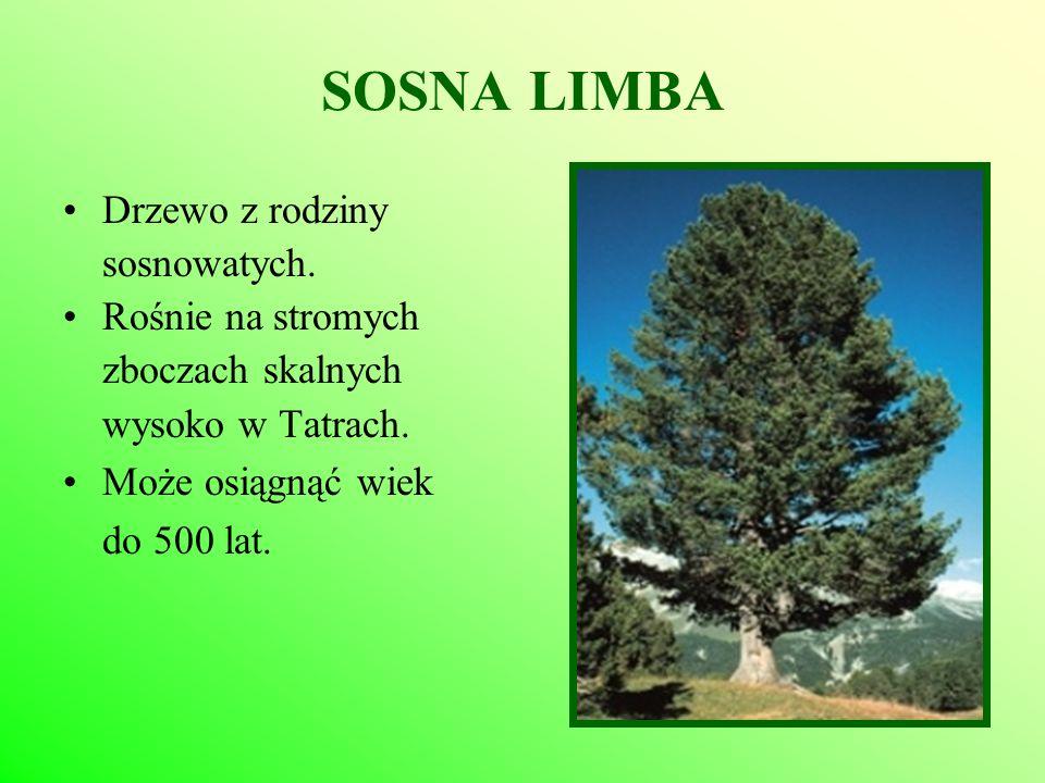 SOSNA LIMBA Drzewo z rodziny sosnowatych. Rośnie na stromych zboczach skalnych wysoko w Tatrach. Może osiągnąć wiek do 500 lat.