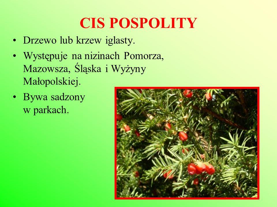 CIS POSPOLITY Drzewo lub krzew iglasty. Występuje na nizinach Pomorza, Mazowsza, Śląska i Wyżyny Małopolskiej. Bywa sadzony w parkach.