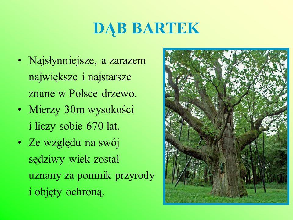 DĄB BARTEK Najsłynniejsze, a zarazem największe i najstarsze znane w Polsce drzewo. Mierzy 30m wysokości i liczy sobie 670 lat. Ze względu na swój sęd