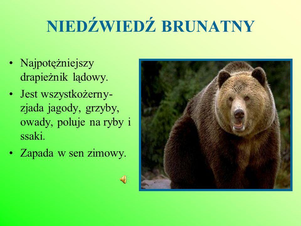 ŻUBR Występuje w Puszczy Białowieskiej.Żyje 30-35 lat.