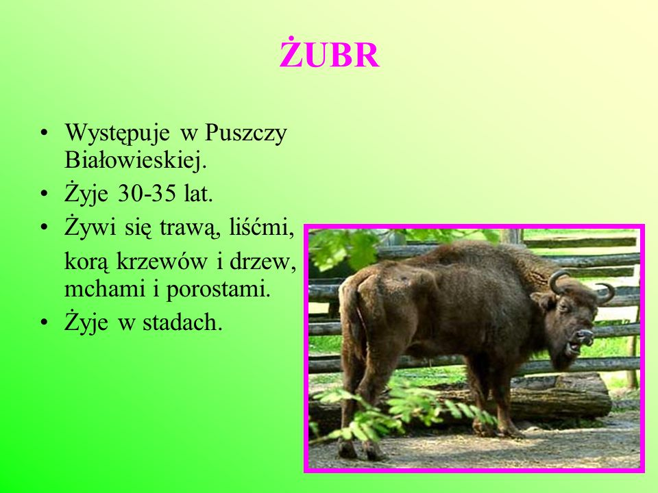 ŻUBR Występuje w Puszczy Białowieskiej. Żyje 30-35 lat. Żywi się trawą, liśćmi, korą krzewów i drzew, mchami i porostami. Żyje w stadach.