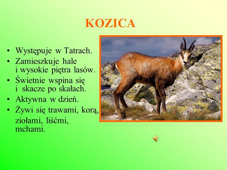 KOZICA Występuje w Tatrach. Zamieszkuje hale i wysokie piętra lasów. Świetnie wspina się i skacze po skałach. Aktywna w dzień. Żywi się trawami, korą,