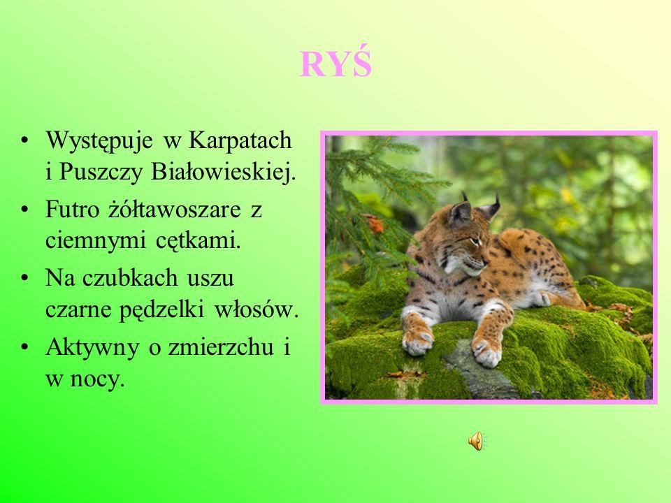 RYŚ Występuje w Karpatach i Puszczy Białowieskiej. Futro żółtawoszare z ciemnymi cętkami. Na czubkach uszu czarne pędzelki włosów. Aktywny o zmierzchu
