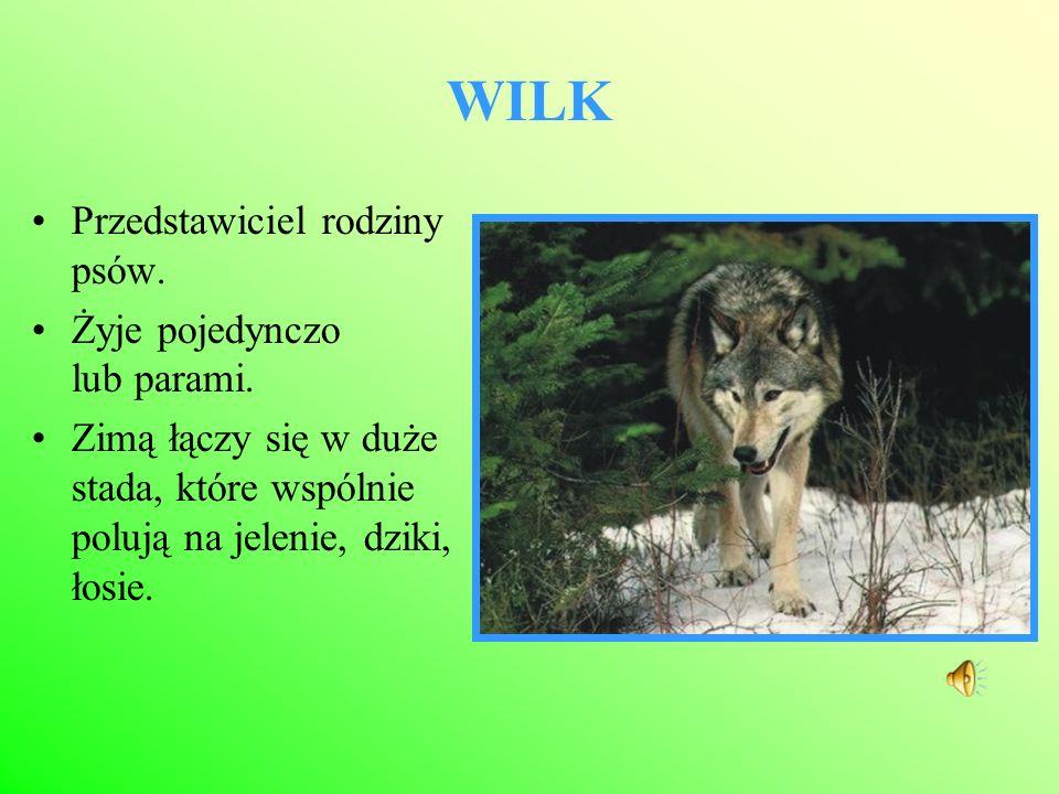 WILK Przedstawiciel rodziny psów. Żyje pojedynczo lub parami. Zimą łączy się w duże stada, które wspólnie polują na jelenie, dziki, łosie.